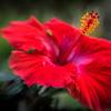 Hibiscus No. 1