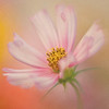 Pink Cosmos Impression No.2