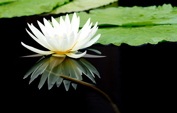 White Waterlily No.1