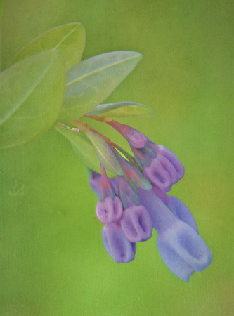 Virginia Bluebells No.1