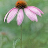 Coneflower No.5