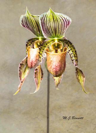 """Paphiopedilum """"Slipper Orchids"""""""
