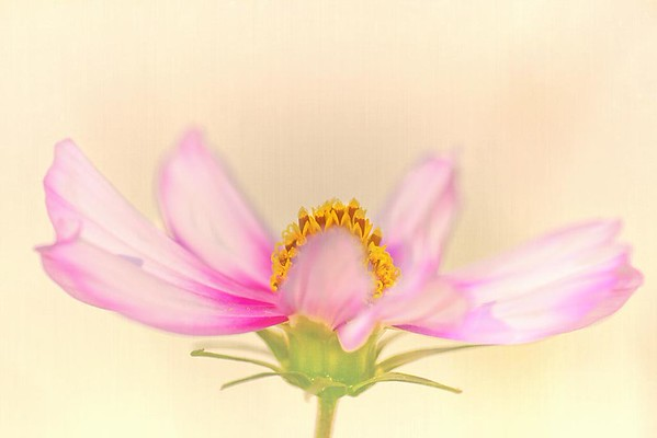 Pink Cosmos Impression No. 1