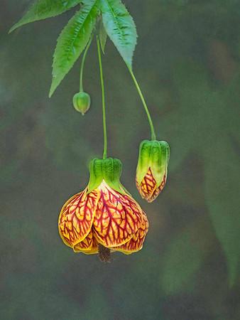 Flowering Walmut