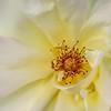 Golden Shower Rose