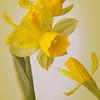 Daffodils No.1