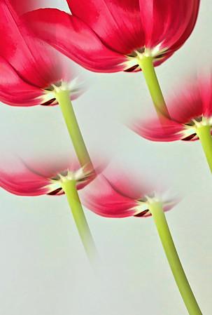 Red Tulip Prism