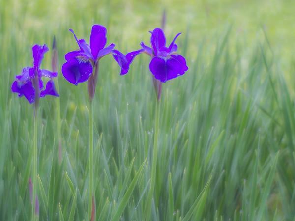 Iris No.3