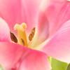 Pink Tulip No. 1