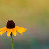 Yellow Coneflower No.1