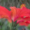 Hibiscus No. 2