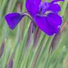 Iris No.4