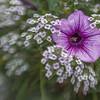 Petunia No. 1
