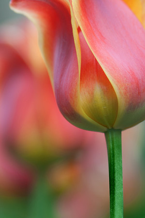 Tulip Abstract No.2
