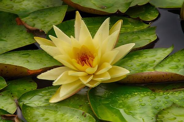 Yellow Waterlily No.1