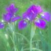 Iris No. 2