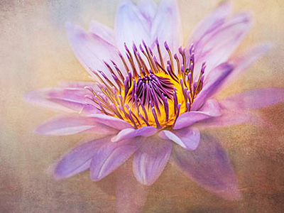 Purple Water Lily #4