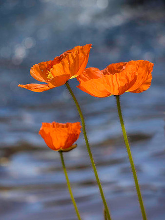 Poppies at Longwood