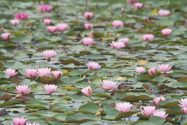 Water Lily Landscape