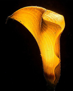 """Golden Chalice"" Shot underwater, some careful lighting reveals the delicate veining and sensuous curves of a gold calla lily."
