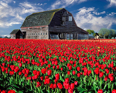 """Skagit Valley Spring"" A 100 year old barn provides the perfect backdrop for a field of tulips near Mount Vernon...notice Mt. Baker peeking over the roof of the barn."