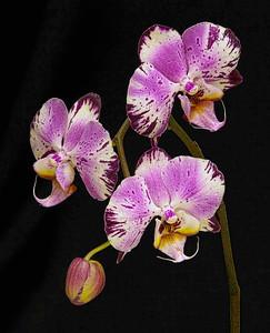 """""""Phalaenopsis"""""""