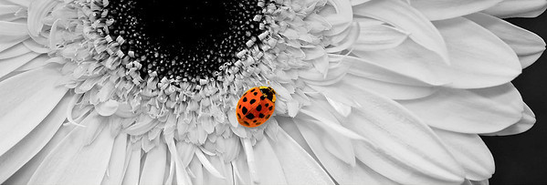 """Lady in Black & White"" Originally a bright yellow, this Gerbera daisy provides a much more effective background for a vibrant ladybug as a black & white."