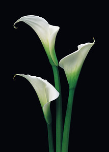 """Callas"" Simplicity itself, yet the epitome of elegance."