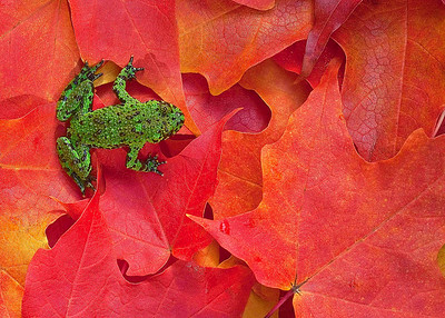 """Froggy"" The ultimate in color contrast...bright green on fiery red Sugar Maple leaves."