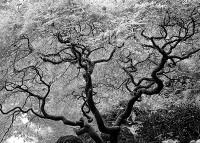 """""""Arbor Vitae"""" (Tree of Life) The incredible architecture of this very old Japanese maple is enhanced by this infra-red photograph."""