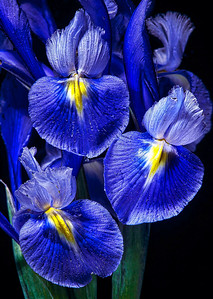 """Blue Birds"" Look carefully and you'll notice the small air bubbles on the petals of this Dutch iris. When photographed underwater, lighting can be diffused in interesting ways, giving many objects, especially flowers, an exciting new vibrancy."