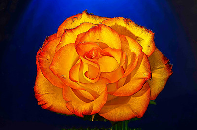 """""""Rose d'Or"""""""
