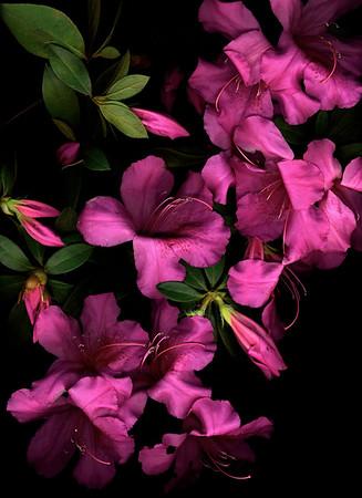 Fuchsia Azaleas