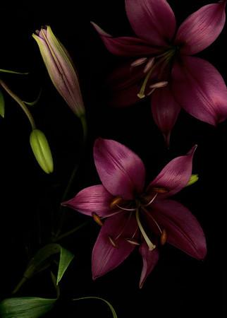Merlot Lilies