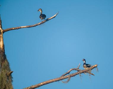 Wood ducks in tree
