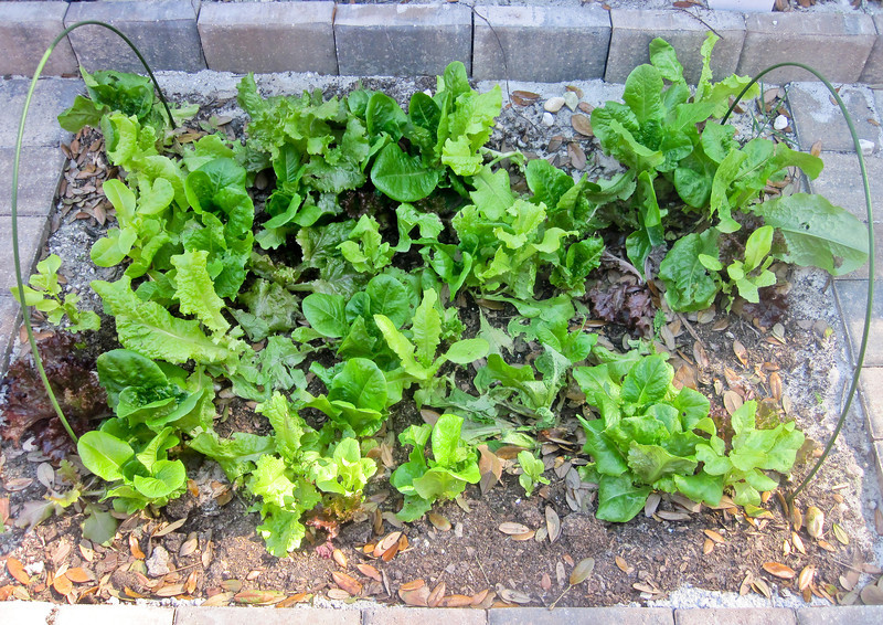 lettuce bed in one of the paver cut-outs