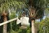 Trimming palms at Lake Eola