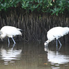 Two Wood Storks wading for food