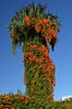 This is a Flame vine or a pyrostegia venusta climbing up a palm tree. This was shot on SR42, Oklawaha, Florida.