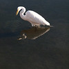 Egret, fishing