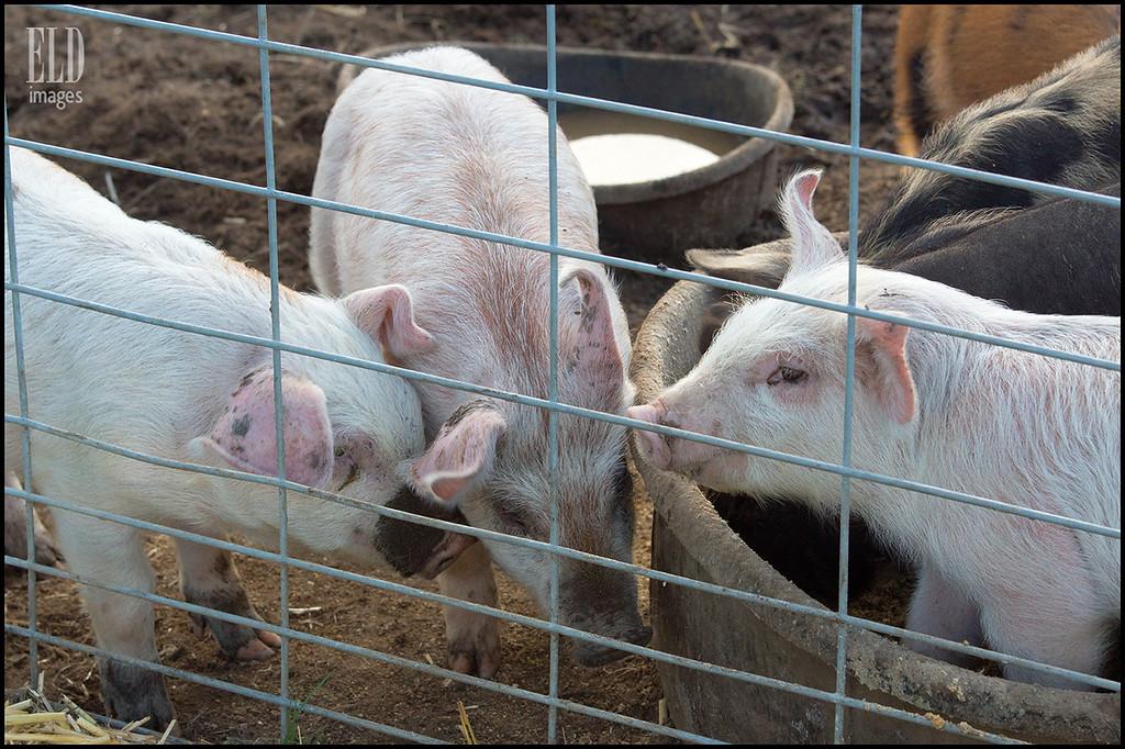 Oink - Sea Breeze Farm