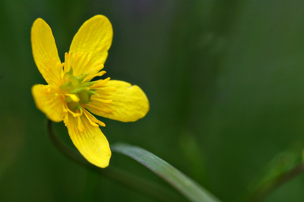 Buttercup flower - Nature Stock Image by Professional Nature Photographer Christina Craft