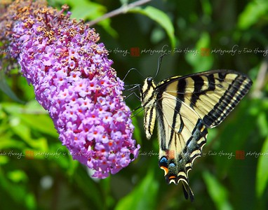 A swallowtail butterfly sips nectar from a cluster of flowers