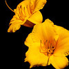 The beauty of the Day Lillie (Memerocallis)
