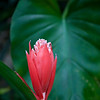 Ginger Flower from the rain forest of St Kitt's