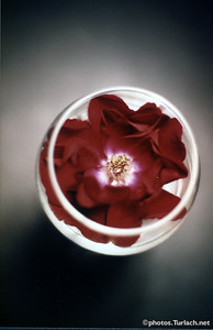 Rose in wine glass - 3