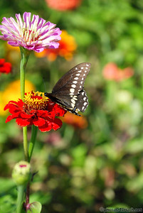 A Butterfly helps itself to the  flowers at Verrill Farms, Concord Ma.
