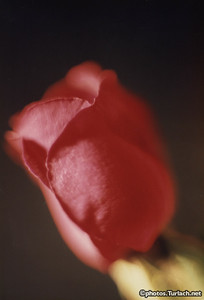 Rose Close-Up - 1
