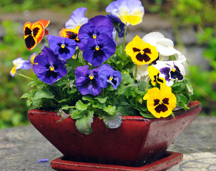 Pansies happy faces on a rainy day