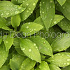 Abstract Green Foliage with morning water drops.